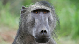 Rehabilitated adult baboon