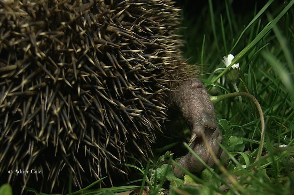 Hedgehog back foot