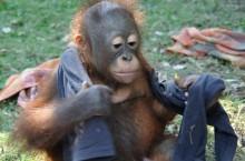 Orangutan: I think my jumper looks better on her