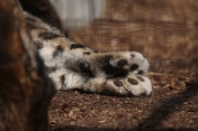 Snow Leopard: Paws for thought