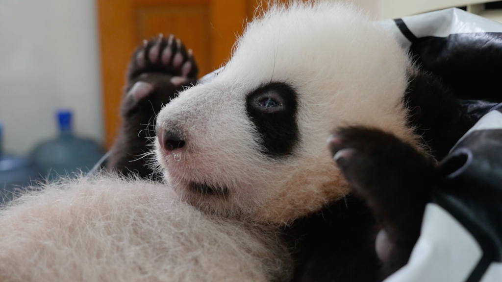 Hands up if you like giant pandas